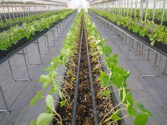 [写真]おいCベリーの苗が整然と一列に並んだ本舗ハウスの様子