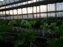 [写真]定植作業が終わり、夕日が射しこんだ本圃ハウス内の様子