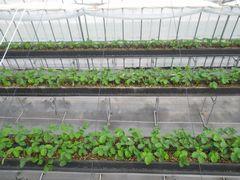 [写真]ビニールハウスの上から眺めたイチゴの苗の様子