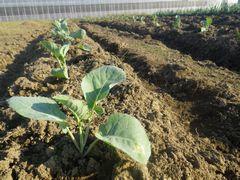 [写真]三郎畑に植えたブロッコリー苗の様子