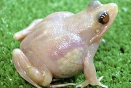 透明カエル