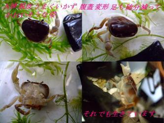 沢蟹A棟脱皮が上手く行かず・・・腹蓋変形して鋏・足も不足・・・あ゛~それでも元気に生きています!2012.03.23