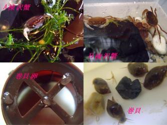 沢蟹水槽に巻貝発生・・・5月の気温上昇で水草に付いた卵が孵ったのでしょうか?2012.05.04