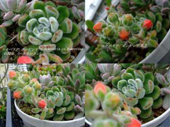 エケベリア ボンビシナ( Echeveria cv. Bombycina)和名:白閃冠(ハクセンカン)~花芽が上がってきました~♪~2012.06.11