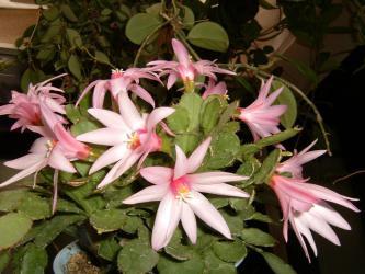 イースターカクタス(ピンク)開花~2009.05.11