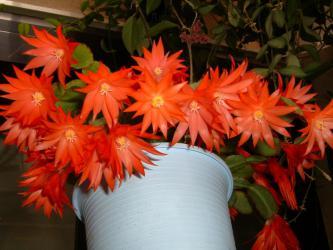 イースターカクタス(オレンジ)開花~2009.05.11