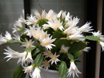 イースターカクタス(珍しい白花)開花~2009.05.11~白花は特に夏越が難しいようでくこの年に枯れてしまいました。