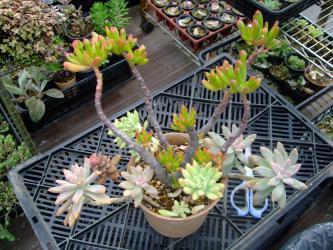 クラッスラ 金のなる木 ゴーラム(Crassula portulacea monstruosa 'Gollum')の紅葉&色付く多肉たち~♪2012.11.02