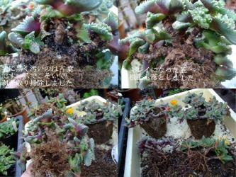 4年以上植替えていないので葉が枯れてスカスカになっています(´ヘ`;)古葉が黒くガリガリキレイに取ります記号2012.10.31