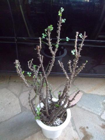 オキザリス ギガンティア(Oxalidaceae Oxalis gigantea) 今年はやや早目の芽出し~♪2012.11.08