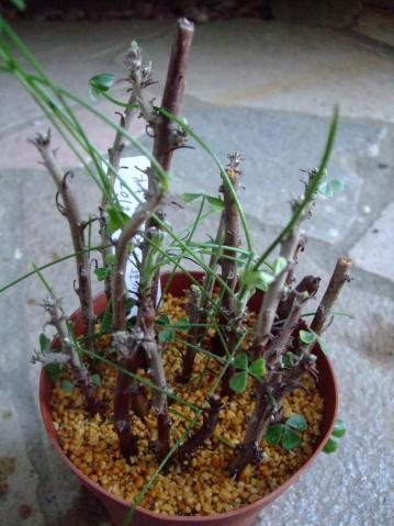 オキザリス ギガンティア(Oxalidaceae Oxalis gigantea) 今年はやや早目の芽出し~♪新枝を挿し木してみました♪2012.11.08
