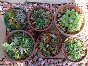センペル・オロスタキス・三時草・セダム・クラッスラ~いろいろ~秋から冬に楽しめる寄せ植え♪2012.11.17