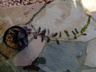 レノフィルム アクチフォリウム(Lenophyllum acutifolium)黒葉~♪地味なような・・・派手なような・・・なんともいえない花が咲きました♪2012.11.13