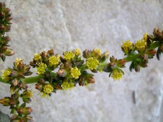 レノフィルム アクチフォリウム(Lenophyllum acutifolium)黒葉に黄色花・・・2012.11.13