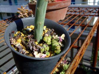 セネシオ 七宝樹錦(しちほうじゅにしき)(Senecio articulatus f. variegata) 下部から地下茎で新葉が出てきました~♪2012.11.14