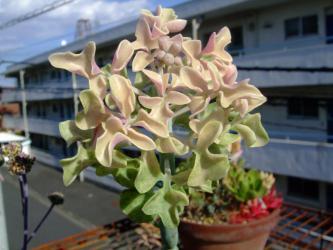 セネシオ 七宝樹錦(しちほうじゅにしき)(Senecio articulatus f. variegata)キレイな斑入り葉~良く見ると中心に花芽が~できています♪2012.11.14