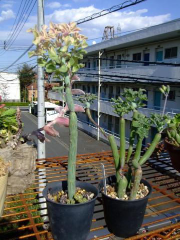 セネシオ 七宝樹錦(しちほうじゅにしき)(Senecio articulatus f. variegata)ミドリのウインナー( ^▽^)2012.11.14