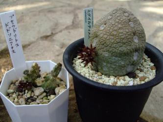左:ガガイモ科プセウドリトス ドドソニアヌス(Pseudolithos dodosonianus)右:プセウドリトス ミグイルティヌス(Pseudolithos migiurtinus)同時開花しています♪2012.11.18