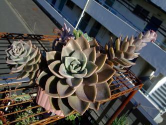 グラプトベリア バイネシー( Graptoveria bainesii)?グラプトペタルム バイネシー?どちらなのでしょう?大きく育ち過ぎています♪~2012.11.22