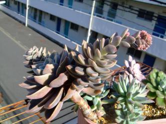 グラプトベリア バイネシー( Graptoveria bainesii)?グラプトペタルム バイネシー?どちらなのでしょう?大きく育ち過ぎて花芽も上がっています♪~2012.11.22