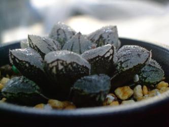 ハオルチア 黒砂糖(くろざとう)Haworthia hybrid 'Kurozato'(新氷砂糖x毛蟹)2012.11.25