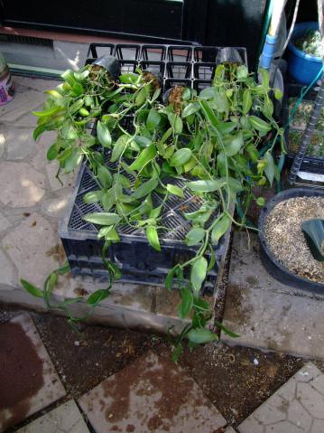 ラン科 バニラ(Vanilla planifolia)キレイに掃除してミズゴケで仕立て直し~良く考えてみると・・・時期的に不安・・・♪2012.11.25