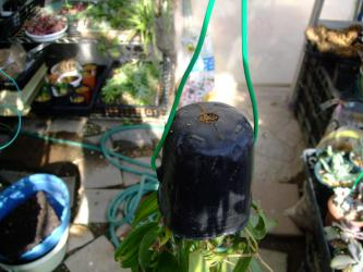 ラン科 バニラ(Vanilla planifolia)ミズゴケで仕立て直し逆さに吊ってみます♪2012.11.25