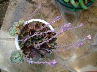 エケベリア ブラックローズ(Echeveria'Black Rose')~葉挿しで増えた群生株~花芽いっぱい~♪2012.11.30