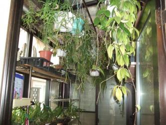 多肉・観葉防寒対策(リプサリス・ガガイモ(柱系ガガイモ~カラルマ・ホヤ・セロペギア・ディスチディア・)・洋ラン・~日の差す室内に取り込みます~2012年早い冬支度します♪2012.12.01