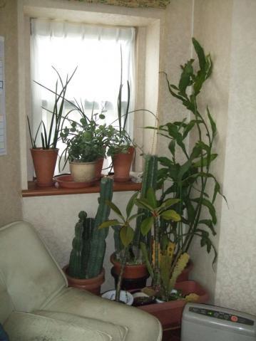 多肉・観葉防寒対策(柱サボテン・月下美人/クジャク系・緑の太鼓・プルメリア・サンセベリア)~日の差す室内に取り込みます~2012年早い冬支度します♪2012.12.01