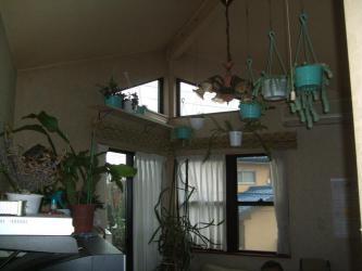多肉・観葉防寒対策(大型セダム~大玉ツヅリ・新玉つづりなど・緑の太鼓・月下美人系・三角柱・ユーフォルビア・~日の差す室内に取り込みます~2012年早い冬支度します♪2012.12.01