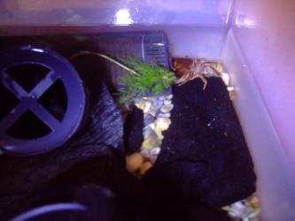 沢蟹さん残り1匹~五体満足~頑張って1年7ヶ月生きています( ^▽^)2012.12.05