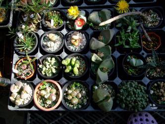 高度玉型メセンいろいろ~♪アルギロデルマは午前中から咲き始めお昼過ぎに満開するようです♪2012.12.06~12:46