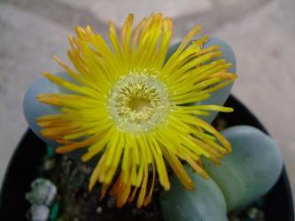 アルギロデルマ 金鈴(きんれい)(Argyroderma roseum var. delaetii)2012.12.06