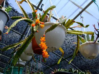 ■リプサリス モナカンタ(Rhipsalis monacantha) ~開花の頃~2010.05.01
