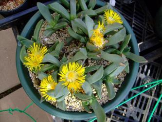 プレイオスピロス 陽光/カヌス (Pleiospilos compactus ssp. canus)1階ハウスに吊るされて咲いています♪午後1時ころ満開~2012.12.12