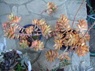 セダム 黄麗(オウレイ)?銘月(メイゲツ)かしら~オレンジ色に紅葉しています♪2012.12.17