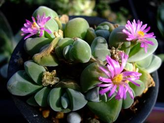 ギバエウム 無比玉(むひぎょく)(Gibbaeum dispar)まだまだ~開花中~2012.02.20