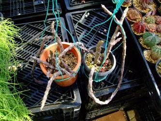 ガガイモ科 セロペギア キミキオドラ(Ceropegia cimiciodora)2012.03.09