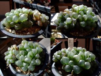 ハオルチア 達磨オブツーサ(Haworthia obtusa )~透明窓が光に翳すとガラスのように映ります!2012.03.01