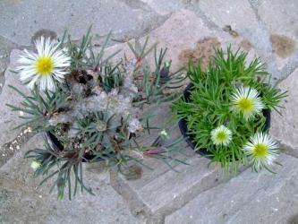 塊茎葉物メセン フィロボルス Phyllobolus sp ラビエイ rabiei レスルゲンス resurgens~まだまだ開花中~ 2012.02.20