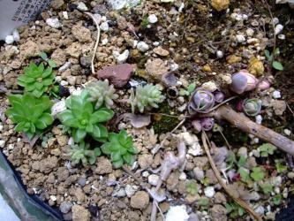 セダム 白斑ベンケイソウ (Sedum alboroseum f.variegata) 花柄~種になっている?2012.02.23