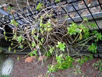 寒さに負けず茂りちゅう~セダム プラエアルツム(Sedum praealtum)。真ん中~ヒロテレフィウム ミセバヤ(Hylotelephium sieboldii)