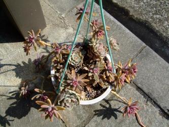 グラプトペタルム 愁麗(シュウレイ)(Graptopetalum sp. syu-rei )=グラプトセダム(Graptosedum 'Francesco Baldi' )と白牡丹(シロボタン)盛り~2012.02.25
