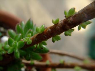 エケベリア 紅輝炎(コウキエン)(Echeveria cv. Set-oliver )頭部は4ヶ根付いた感じ~幹枝から子吹きたくさんしてきました!2012.02.26
