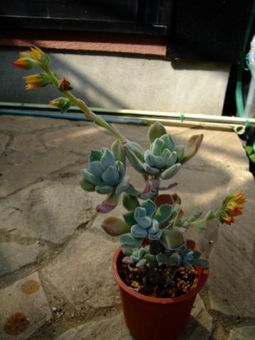 エケベリア プルビナタ フロスティ (Echeveria pulvinata cv. Frosty) 白い微毛に覆われ開花中~2012.02.26