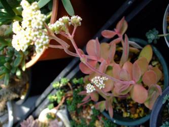 クラッスラ ワーテルメイエリー(Crassula atropurpurea var.watermeyeri)=(Crassula watermeyeri)?温室育ちですが程よく紅葉ちゅ~白い花が咲いています。2012.02.24