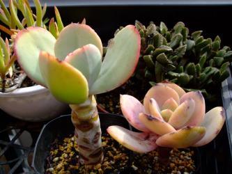 左~エケベリア ギガンティア(Echeveria gigantea)ジュリア ・右~エケベリア 白鳳(Echeveria cv. HAKUHOU) 2012.03.07