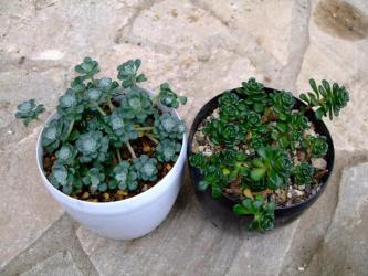 左:セダム スパスリフォリウム ケープブランコ(Sedum spathulifolium)白雪ミセバヤ 、右:セダム オレガナム(Sedum oreganum)オレゴンマンネングサ2012.03.12