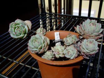 エケベリア ホワイトローズ(Echeveria cv.'White Rose')=静夜(Echeveria derenbergii)2012.03.13
